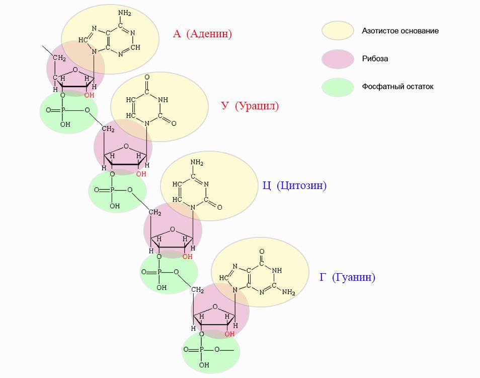Struttura chimica dell'RNA