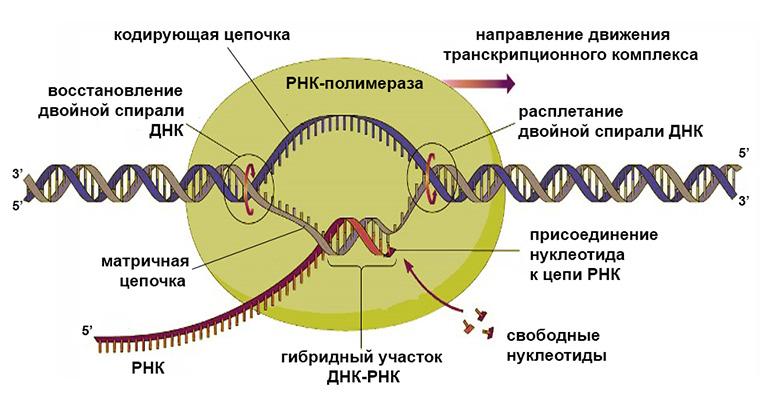 Schema di sintesi dell'RNA