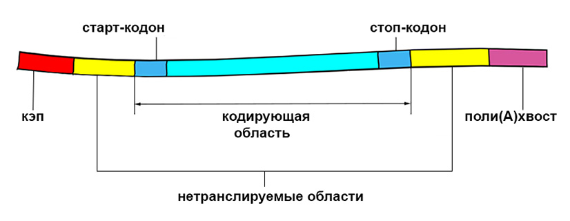 Struttura generale dell'mRNA maturo
