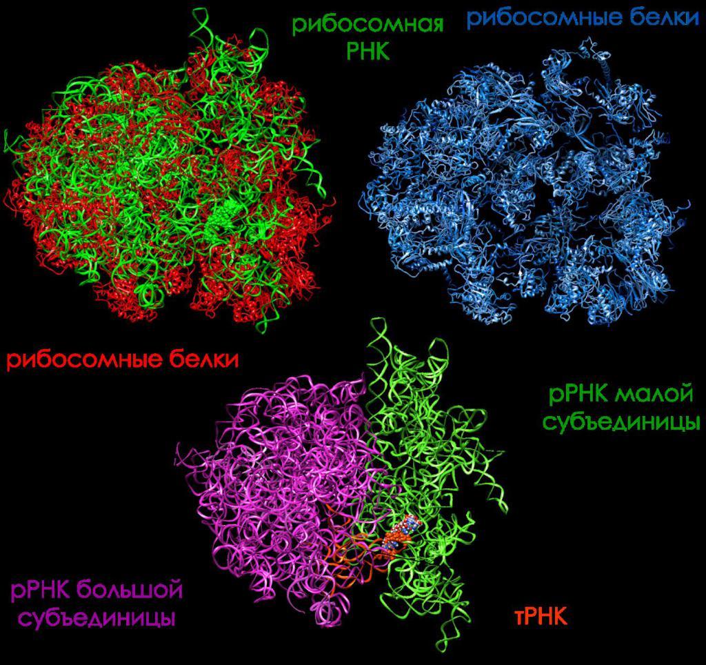 Proteine ribosomali e RNA ribosomiale