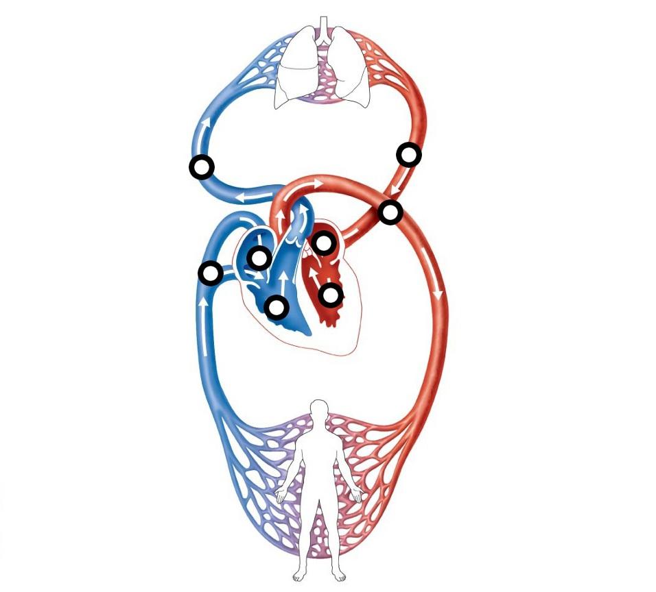 sistema circolatorio chiuso