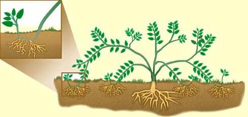 вегетативно размножавање је