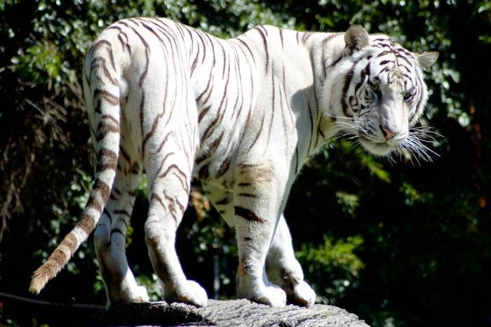 la più grande tigre