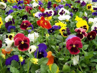 fiore viola perenne