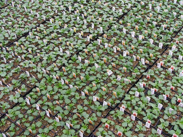 fiori di semenzale viola