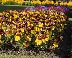 coltivazione di fiori viola
