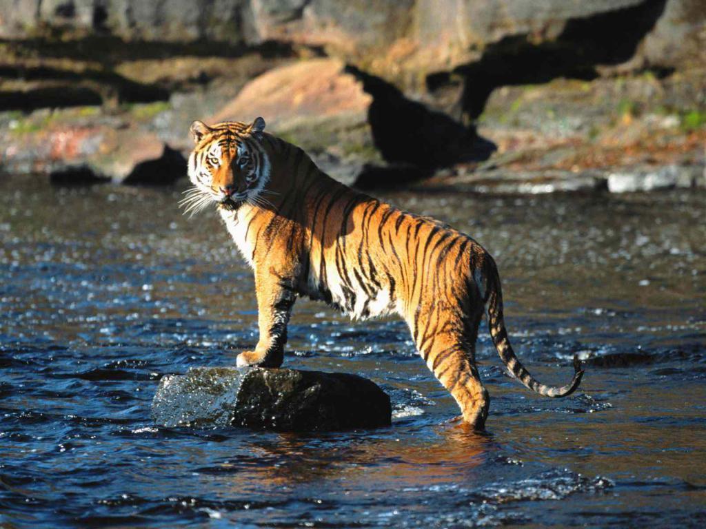 Животињски симбол - тигар