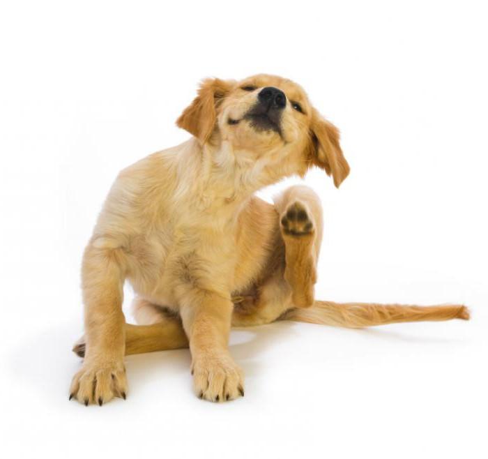 leczenie zjadaczy psów