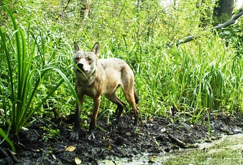 Volkovi so običajni prebivalci rezervata Khopersky