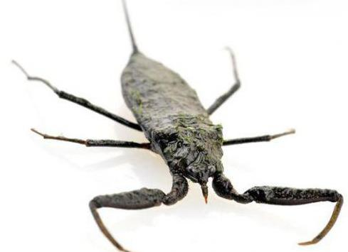 vodeni škorpion