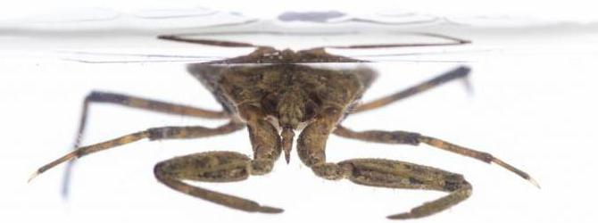снимка на воден скорпион