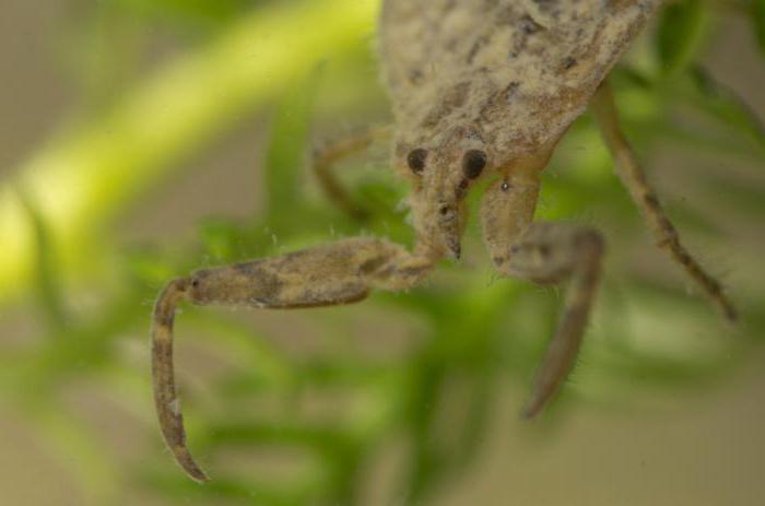 воден скорпион