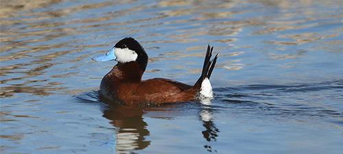 Pačja vodna ptica