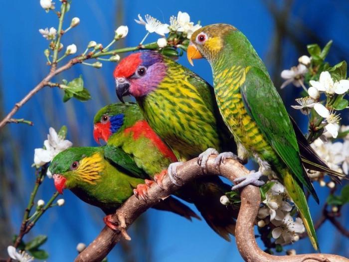 budgerigars kako odrediti spol