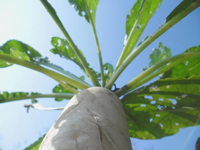 daikon ravanello quando piantato