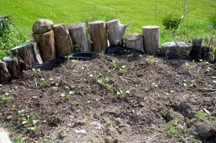 quando piantare ravanello daikon in piena terra