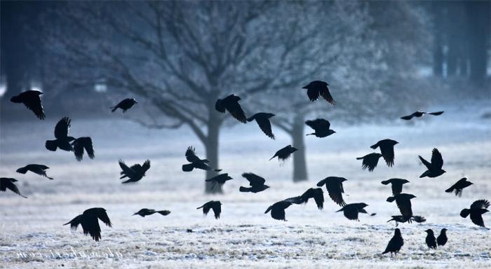 zašto sanjaš čopor vrana