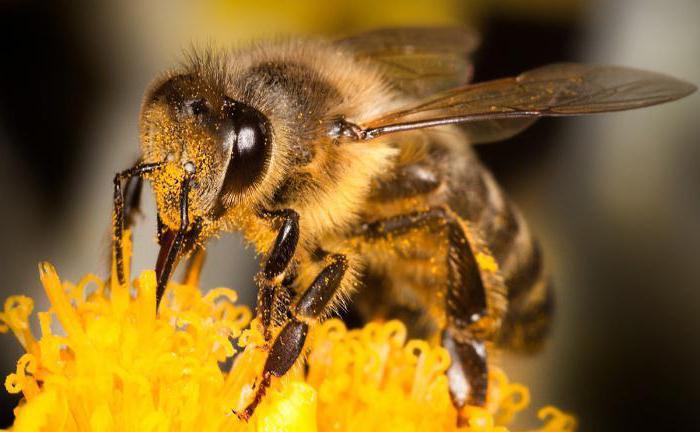 Cosa mangiano le api in natura?