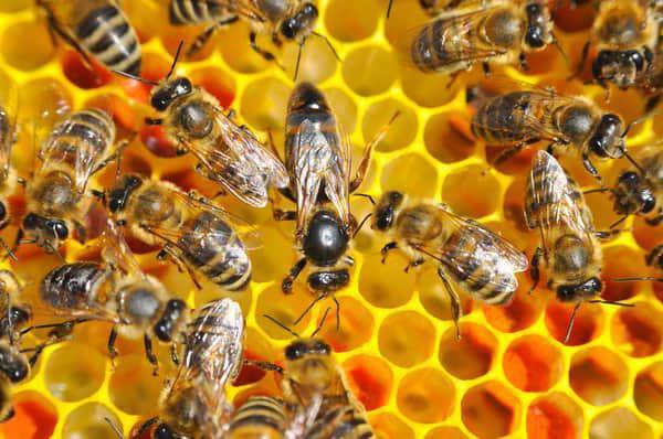 Che cosa mangia l'ape
