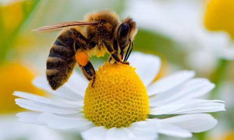 Cosa mangia ape lavoratrice