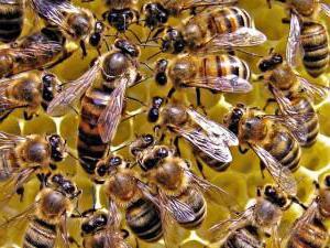 Cosa nutre l'ape regina