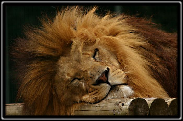 сънувам лъв в сън