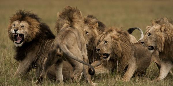 атаки на лъв на съня