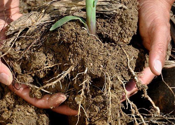 żywienie gleby roślinami