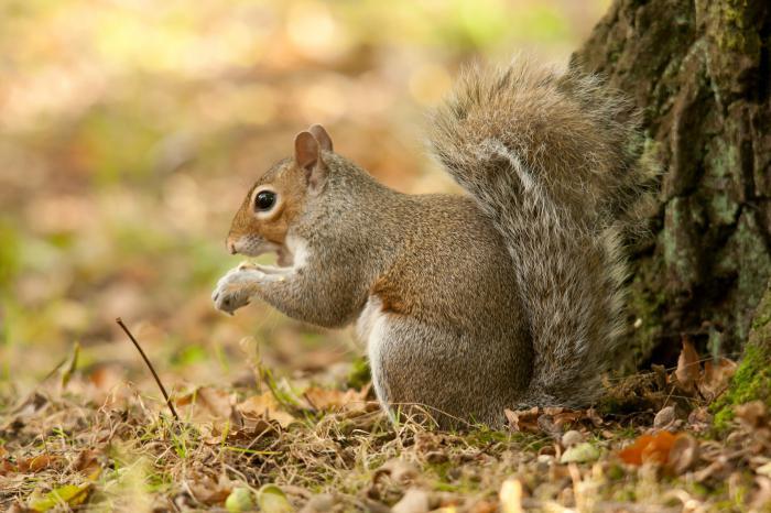 cosa mangiano gli scoiattoli?