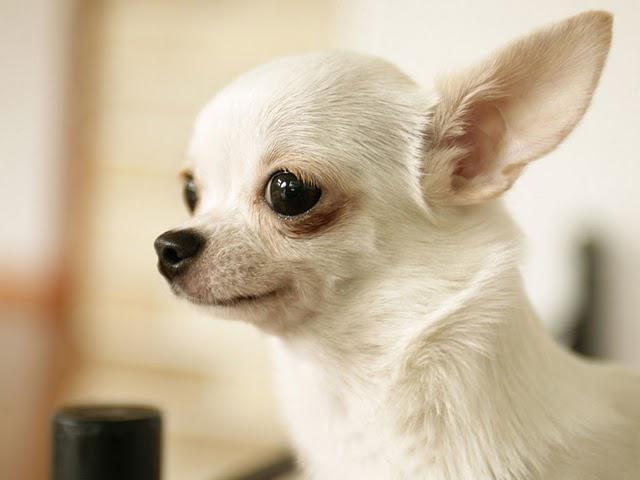 Jak nazwać psa dziewczyną chihuahua
