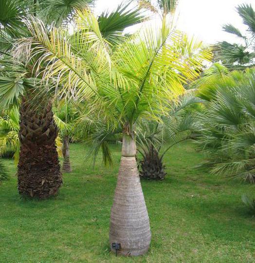 кокосово дрво