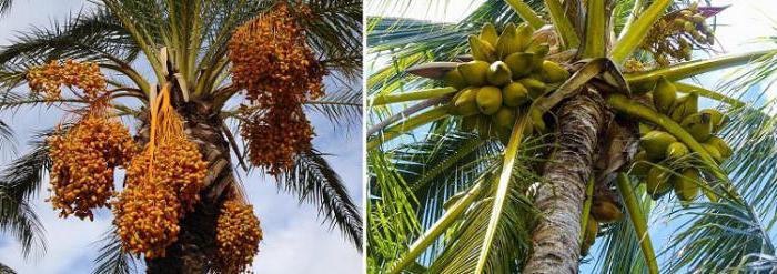 украсна палма
