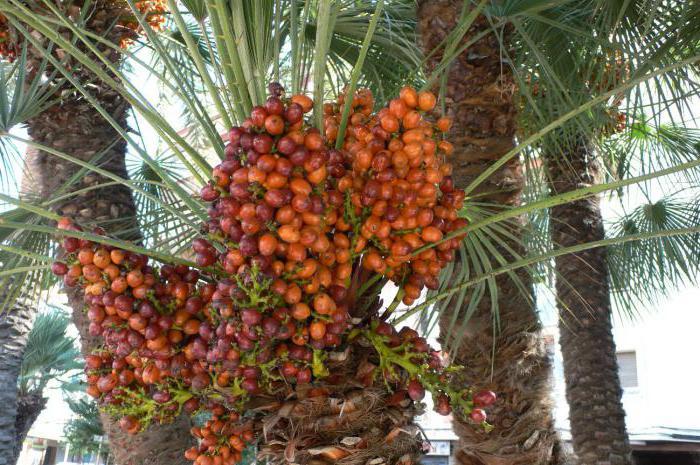 краљевска палма