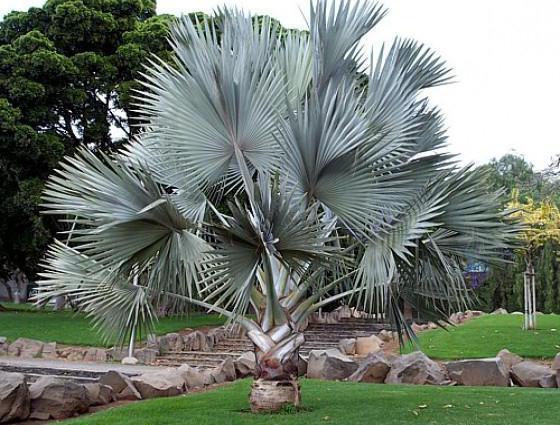 палм фамили