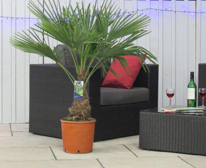 оно што расте на палми