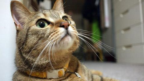 огрлица за буве за мачке