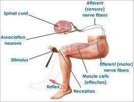 схема на рефлекторната дъга на коленния рефлекс