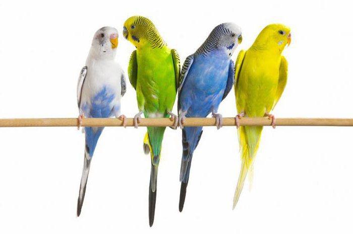 pappagalli ondulati di muta