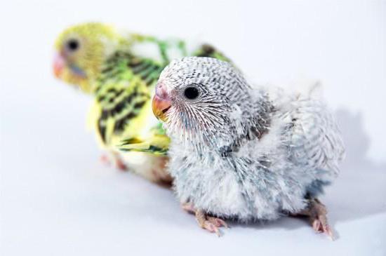 uccelli durante la muta