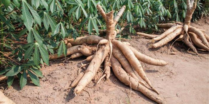cos'è la manioca