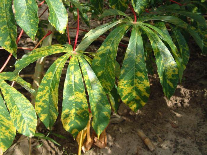 pianta di manioca