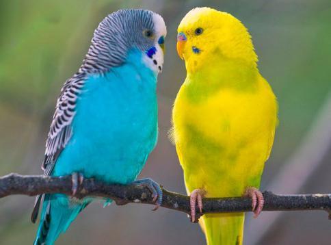 cosa alimentano i pappagalli