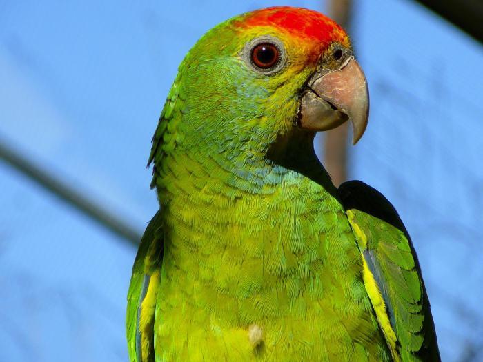 cosa nutrire pappagalli ondulati diversi dai mangimi