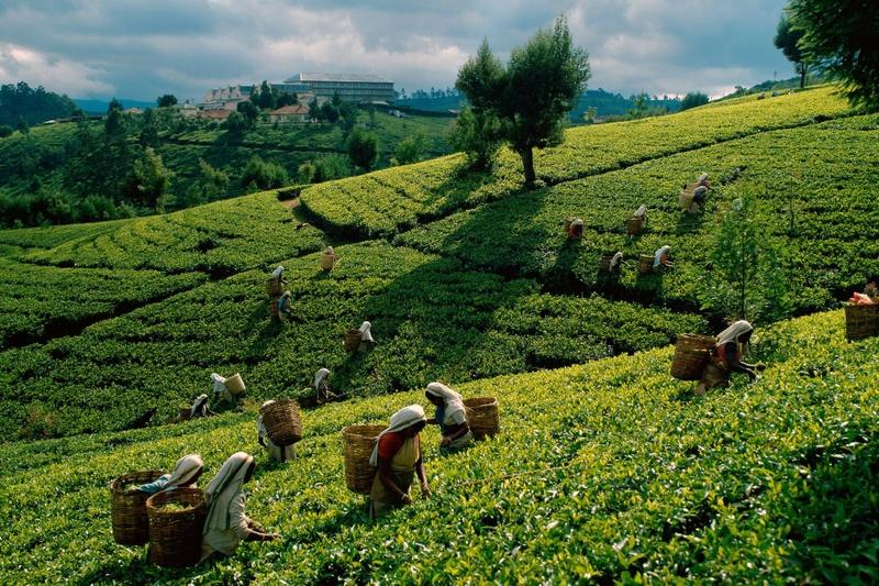 Čajna nasada