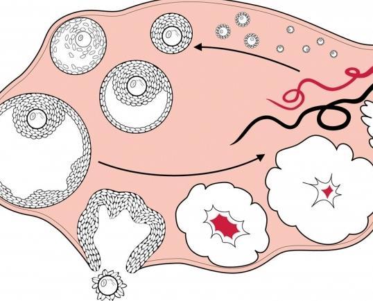 cos'è l'ovulazione