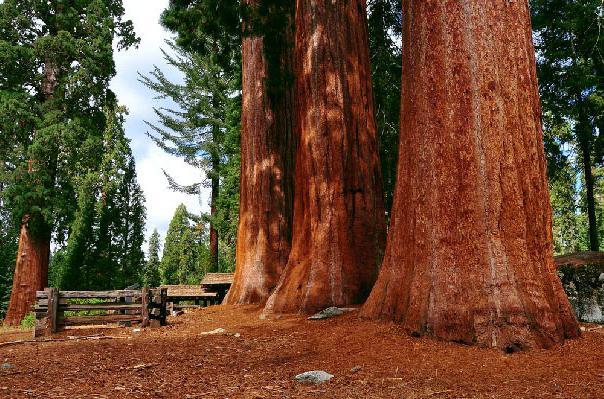 červené santalové dřevo