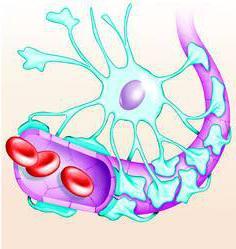 структура на кръвно-мозъчната бариера
