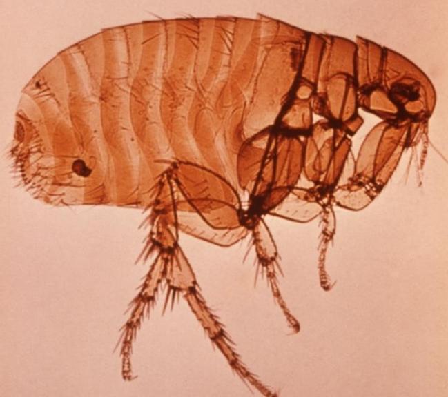 чумните патогени