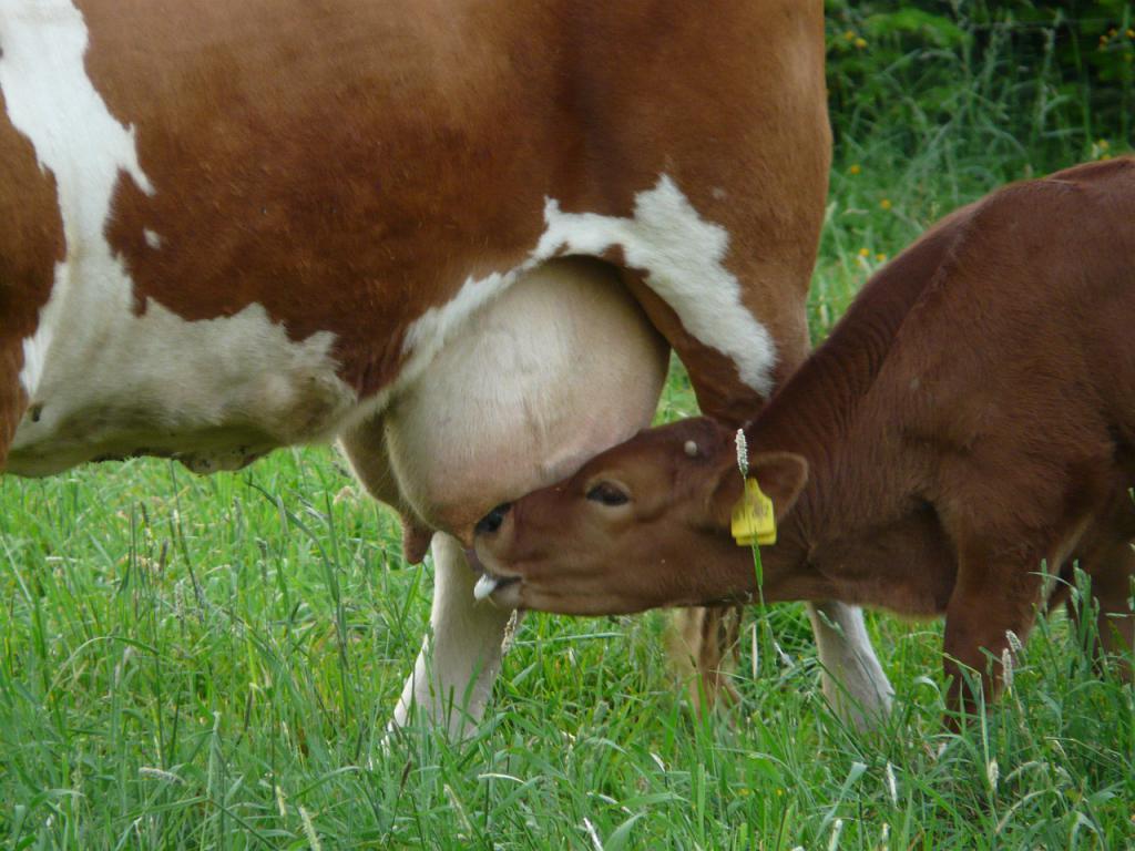 latte alimentare per vitelli