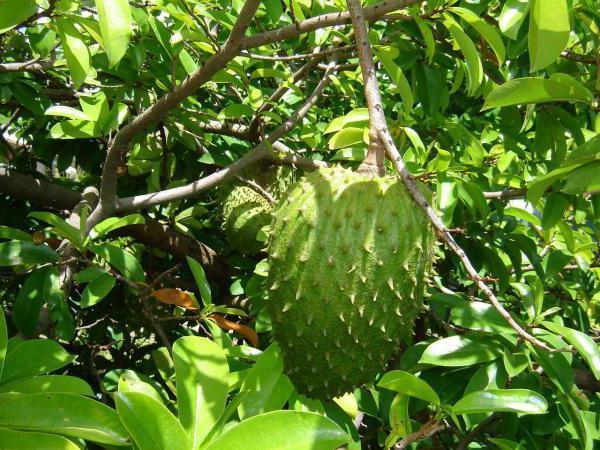 раковите клетки се страхуват от този плод повече химиотерапия